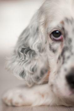 Trend, English setter puppy. Tri colour :-)