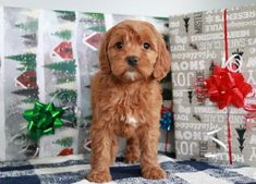 Are you probing for Little Puppies Dogs in Texas? Bright Goldendoodle provides one of the best Cute Small Dogs at the Discounted Price. For more information, visit our site. Buy now! Cheap Puppies For Sale, Small Dogs For Sale, Cute Small Dogs, Pets For Sale, Cute Little Puppies, Small Puppies, Dogs And Puppies, Goldendoodles For Sale, Goldendoodle Puppy For Sale