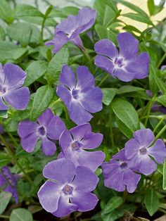Shades of lilac cover this larger leaved vinca.