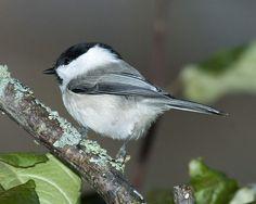 Poecile montanus Willow tit Willow Tit, Birds, Chickadees, Bird
