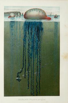 1897 Antique fine chromolithograph of JELLY, BLUEBOTTLE, Marine invertebrade, Portuguese man o' war, Sea life.