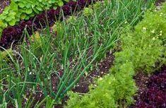 Welche Gemüsesorten nebeneinander pflanzen?