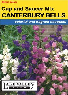 Canterbury Bells Cup & Saucer Mix. Hardy biennial. Canterbury Bells bloom the first spring after planting. Height: 2-3'. Lovely spires of bell-shaped flowers in white, pink, & blue.  Hardy & reliable. Blooms late spring to early summer. Filtered shade to full sun. May be started outdoors about two weeks before last frost date. Or start indoors six to eight weeks before last frost up to mi-summer. Keep young plants evenly moist. Hardy to zone 3.