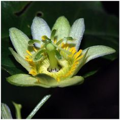 A critically endangered beauty: The passion flower Passiflora kwangtungensis