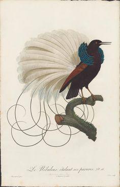 François Levaillant et Jacques Barraband, 'Histoire Naturelle des Oiseaux de Paradis et des Rolliers, suivie de celle des Toucans et des Barbus' , 2-volume, 1806.