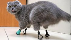 Adorable cat ravaged by frostbite is given a new lease of life by an innovate vet who gave her FOUR prosthetic paws out of titanium Clean Funny Pictures, Cute Pictures, Animal Pictures, Sphynx, Russian Cat, 3d Laser Printer, Kitty Images, Cats For Sale, Cat Names