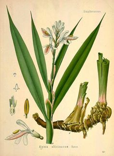 Health Benefits and Side Effects of Galangal Root (Alpinia officinarum) and Its Modern and Traditional Uses in Herbal Medicine Illustration Botanique, Plant Illustration, Botanical Drawings, Botanical Prints, Ginger Essential Oil, Pure Essential, Thai Coconut, Coconut Milk, Plant Species