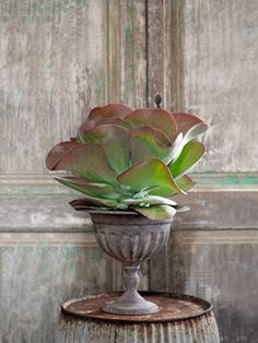 """Paddle Plant  """"This little known succulent deserves to take American living rooms by storm,"""" says Tovah Martin. Why? Kalanchoe thyrsiflora's wavy, red-tipped leaves read as one massive bloom—one whose striking looks last year-round. """"It's also practically unkillable,"""" Martin adds."""