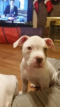 American Bulldog Puppy For Sale In Collinsville Il Adn 61475 On Puppyfinder Com Gender Ma American Bulldog