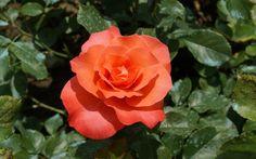 rose photographs - Bing Images