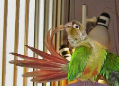 almond loves to preen his tail feathers, seems to be a common trait among green cheek mutations