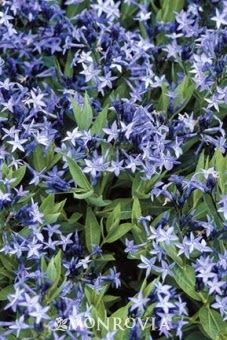 'Blue Ice' Amsonia - A Deer Resistant Outstanding Perennial: Serenity in the Garden