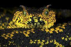 Nueva serpiente en el 2012 Atheris matildae