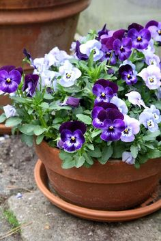 Pansies can add vibrance and colour to your winter garden. Plant out some seedling now for winter and spring colour.
