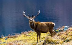 Red deer in Highlands, Scotland
