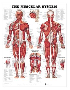 """Muscular System Anatomical Chart-20""""x26"""""""
