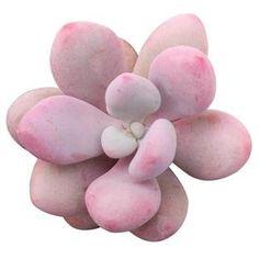 Echeveria, Aeonium Kiwi, Crassula, Euphorbia Milii, Pink Succulent, Succulent Gifts, Succulent Care, Cacti And Succulents, Planting Succulents