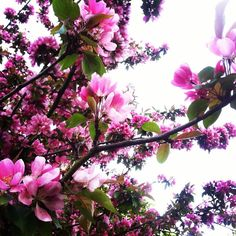 I love the spring blossom :) #garden #gardening #spring #london #essex #tree #blossom #pink #flowers #blooms #