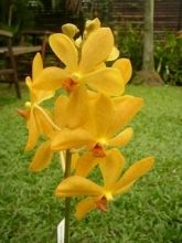 Orchid, Mokara-yellow