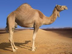 ride a camel in the desert,