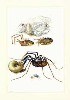 #Entomology Wall Art - Spider Biology Art Print - Naturalist gift ideas.  French school chart, published in Paris. 60 years old.  Frame it or use it for cards, scrapbooking,... #entomology #illustration #arachnid #antique #opiliones #harvester