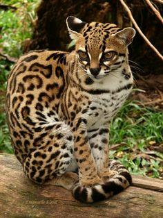 Margay (Leopardus wiedii) native to South America