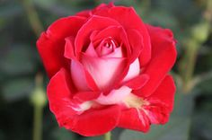 SNOWFIRE ROSE - Google Search