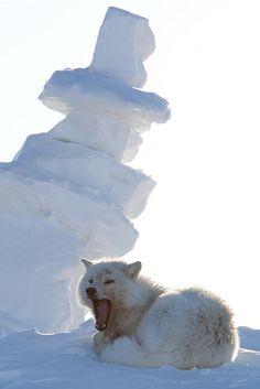 Arctic Wolf onEllesmere Island, Nunavut, Canada by Frank Verro