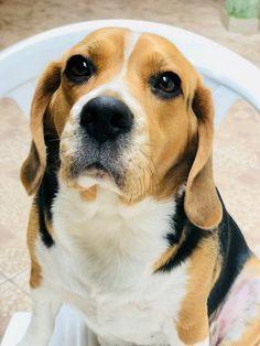 My fat beagle Beagle, Fat, Dogs, Animals, Animaux, Doggies, Beagles, Animal, Animales