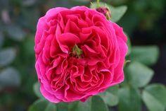 In tiefroten Tönen präsentieren sich die opulenten Blüten der Englischen Rose Othello, deren Farbe an Intensität zunimmt je kühler es wird. ...