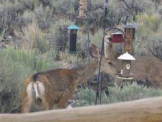 Deer enjoying our bird feeder in Mackay, Idaho.