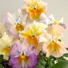 Bolero Soft Light Azure Limonette Pansy - Annual Flower Seeds.  Great site for other pansies too. Swallowtail Garden Seeds.com