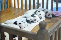 Cute New Born Panda at Chengdu, China