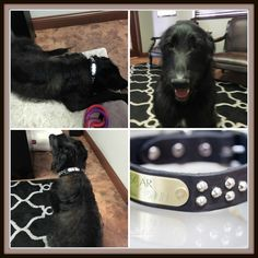 We love our new collar!  Bane is loving showing his new bling off at work, we will for sure be using you in the future!  Thank You!  http://www.kippyandco.com/products/personalized-black-leather-studded-collar