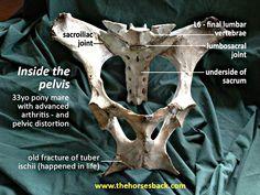 Equine Anatomy and Biomechanics ...