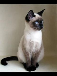 Siamese Cat - looks just like my car Chocolate