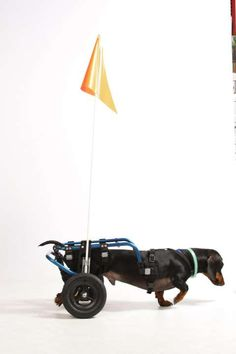 "Wheelchairs for Handicapped Dogs | Hand Built Quality by Ruff Rollin | ""Meyer, The Weiner on Wheels"" Sports His New Ride!"