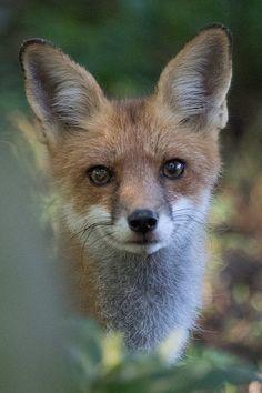 Red Fox by Ian Mutton on Fine Art America