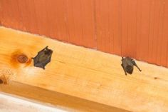 Is the presence of bat scares you to death? Crush Bugs is always there for bat control service for home bat removal to get rid of diseases transmitted by bats! Bats In Attic, Build A Bat House, Getting Rid Of Bats, Pest Control Services, Bug Control, Animal Control, Large Animals, Told You So, This Or That Questions