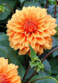 "Old House Gardens Heirloom Bulbs  'Old Gold' Ruddy Orange on Amber 4-5"" 5-6'"
