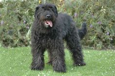 Always an adventurer, the Bouvier des Flandres has rugged good looks and is generally ready and raring to do almost anything. His rough and tumble looks are a mere reflection of his incredible personality. With an inherent work ethic, the Bouvier des Flandres will herd livestock or children. It is essential that he has a [...]