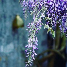 Gardens going crazy thanks to the sunny spring surprise.  .  .  #bloemenmeisje #bloggingyourway #blossombliss #gardendecor #natureinthehome #tuinidee #mooiwatbloemendoen #shadesofblue #momentslikethis #joiedevivre #flashesofdelight #floweroflife #gewoongenieten #mindfulmoments #viewfrommywindow #inbreda #flowerphotography