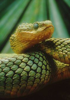 bush viper (Genus: Atheris). Found only in tropical subsaharan Africa and many species have isolated and fragmented distributions due to their confinement to rain forests.