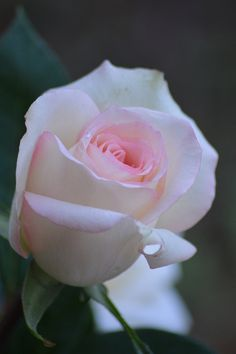 A Rose at Dawn | Flickr – Compartilhamento de fotos!