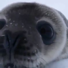 A curious Weddell seal pup checking out a wildlife photographer's camera 🔥 - Awesome - Cute Little Animals, Cute Funny Animals, Funny Cute, Seal Pup, Baby Seal, Amazing Animals, Animals Beautiful, Fluffy Cows, Cute Seals