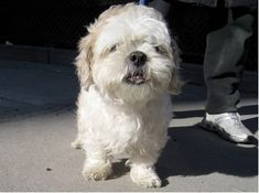 TO BE DESTROYED!!!! 03/25/14! Manhattan Center   JAYDEN - A0798832 *** RETURNED ON 3/14/14 *** ORIGINAL PHOTO ***  NEUTERED MALE, BROWN / WHITE, SHIH TZU, 10 yrs OWNER SUR - ONHOLDHERE, HOLD FOR ID Reason PET HEALTH  Intake condition DISEASE Intake Date 03/14/2014, From NY 10009, DueOut Date 03/21/2014, https://www.facebook.com/photo.php?fbid=772020692810812&set=a.617942388218644.1073741870.152876678058553&type=3&theater