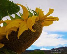 Sunflower of the Rio Grande Valley http://brittrunyon.com/