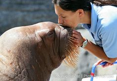 Walrus kisses. Just another day at the Indianapolis Zoo.