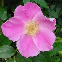 Grow from cutting of mom's - Cherokee rose