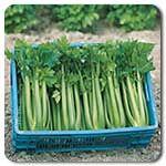 Organic Tango Celery